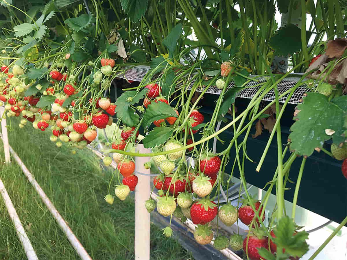 Sistemi di canalina sospeso NASUV per frutta